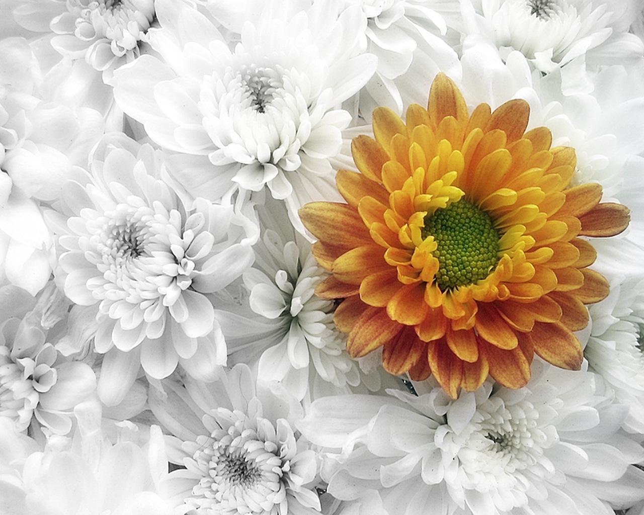 одной них, фото открытка хризантемы для него фотография