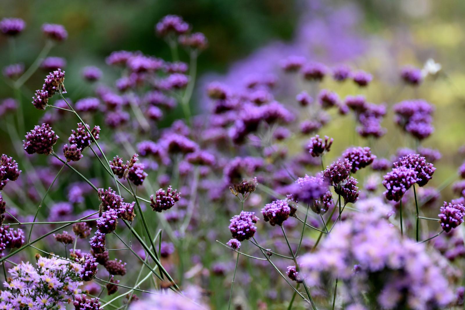 Wallpaper Flowers Garden Nature Purple Lavender Bokeh