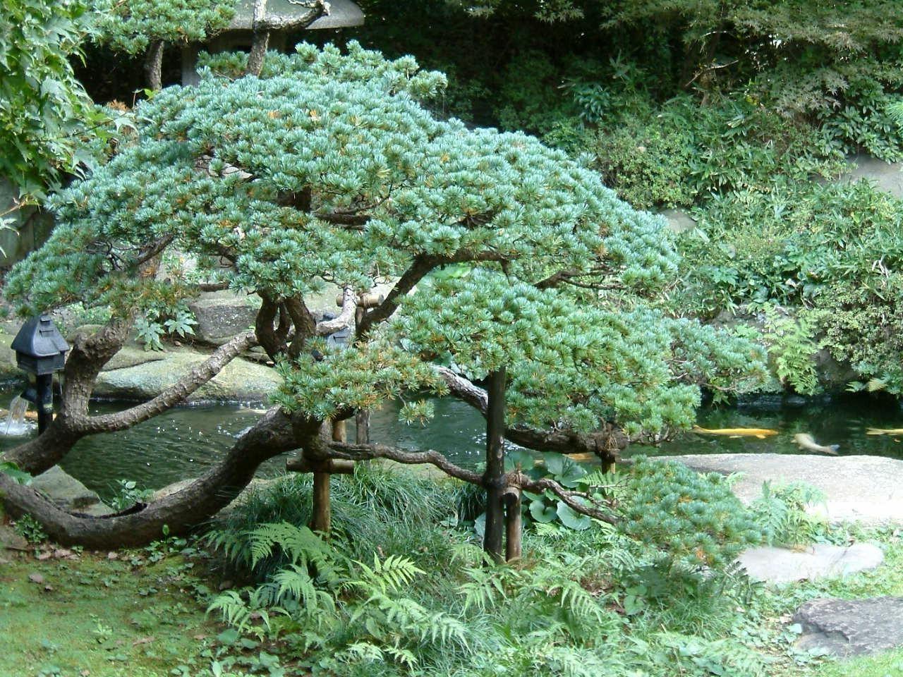 hintergrundbilder b ume pflanzen ast fichte bonsai nadelbaum baum blume 1280x960 px. Black Bedroom Furniture Sets. Home Design Ideas