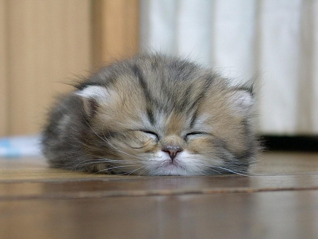 デスクトップ壁紙 ネコ 鼻 ウィスカー ペルシア語 子猫 哺乳類 1024x768ピクセル 脊椎動物 閉じる 哺乳動物のような猫 中型から中型の猫 カルニボラン 家庭的な短髪の猫 国内長髪の猫 ノルウェーの森の猫 シベリア人 1024x768 Wallup