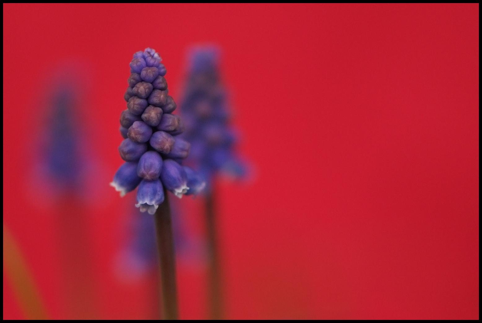 Wallpaper : contrast, flowers, garden, red, sky, blue, spring ...