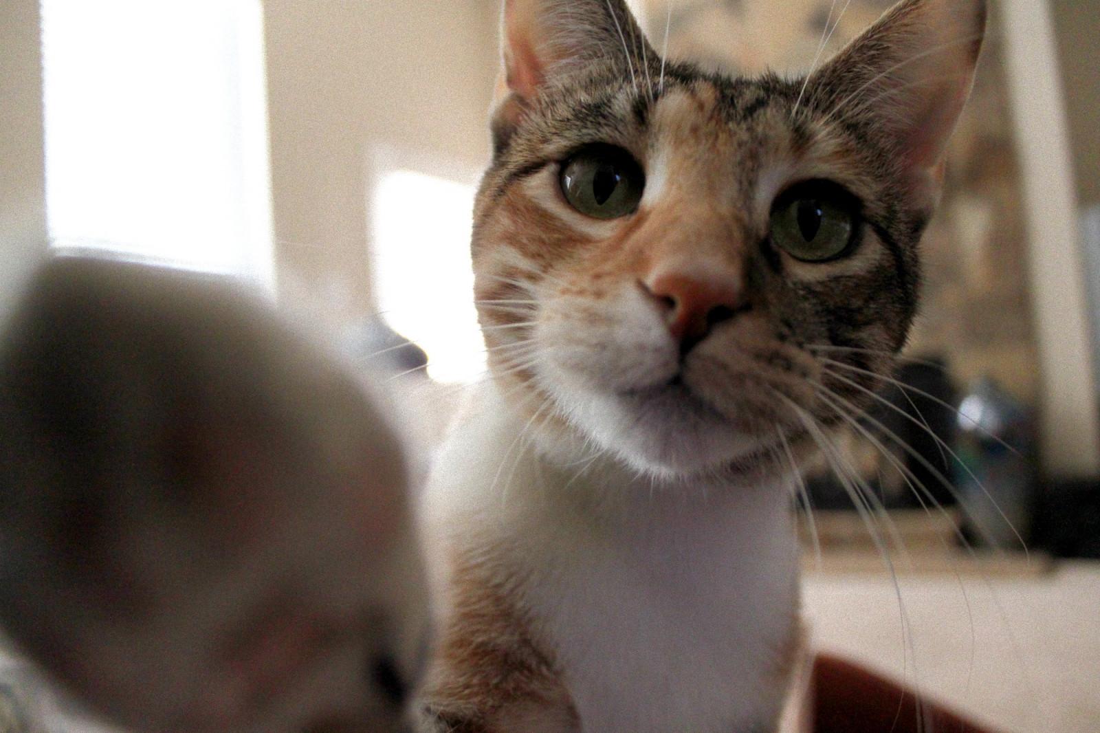 9476de3562 Fondos de pantalla : blanco, negro, gato, ventana, Ojos, cola, habitación,  rojo, asiático, verde, fuego, Canon, naranja, grano, pelaje, nariz, bigotes,  oro, ...