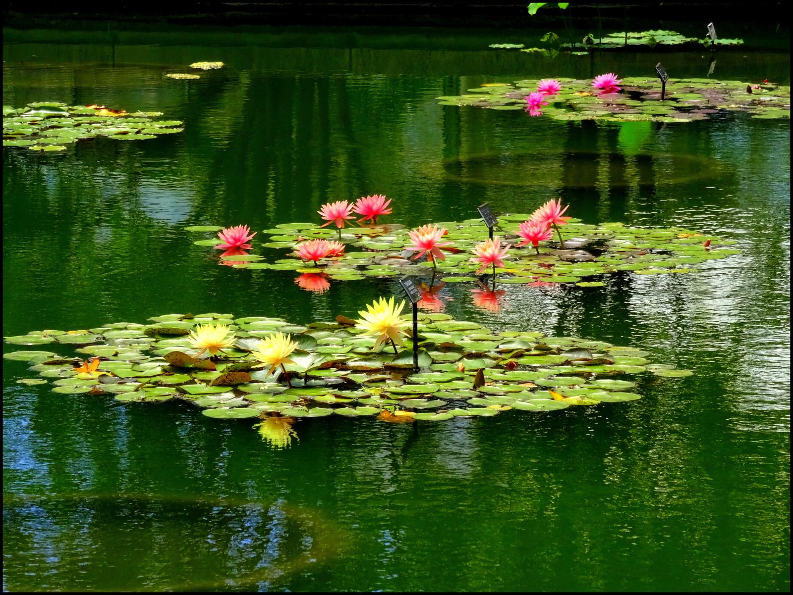 Hintergrundbilder Betrachtung Wasser Blume Natur Teich