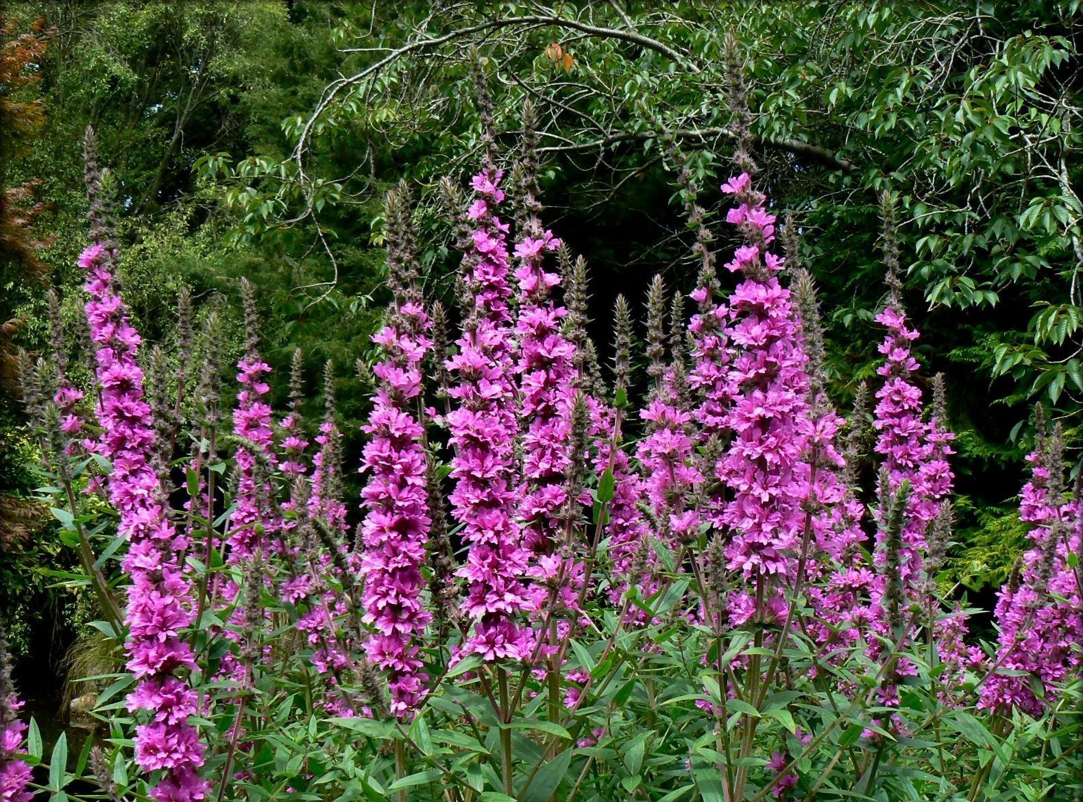 Высокий цветок с розовыми цветками