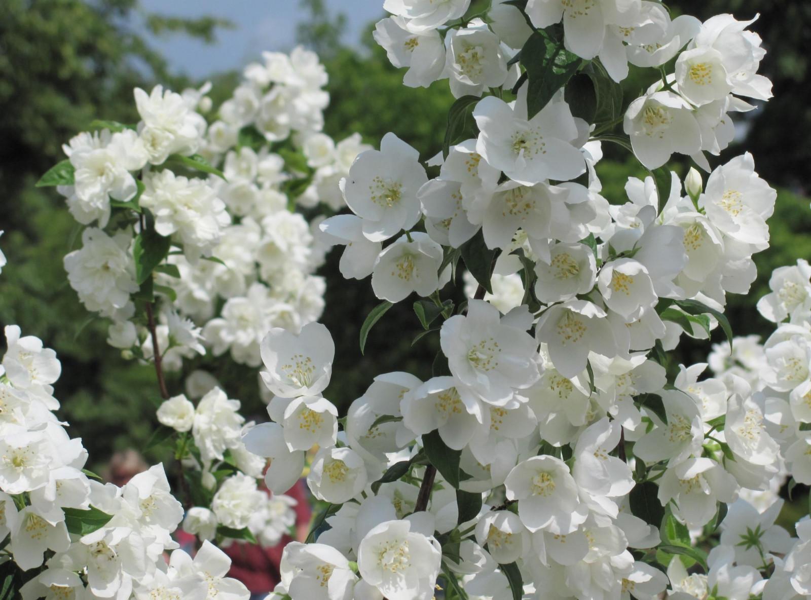 Jasmine, blossoms, twigs, spring