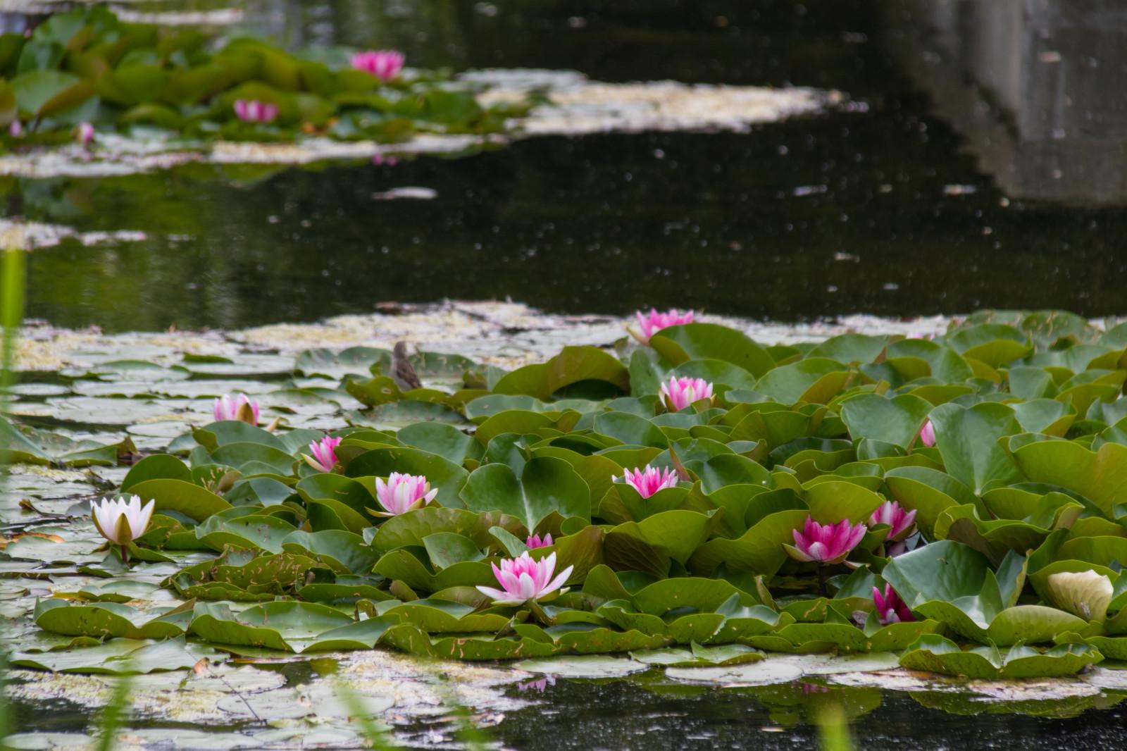 легенды цветение водоема фото доску