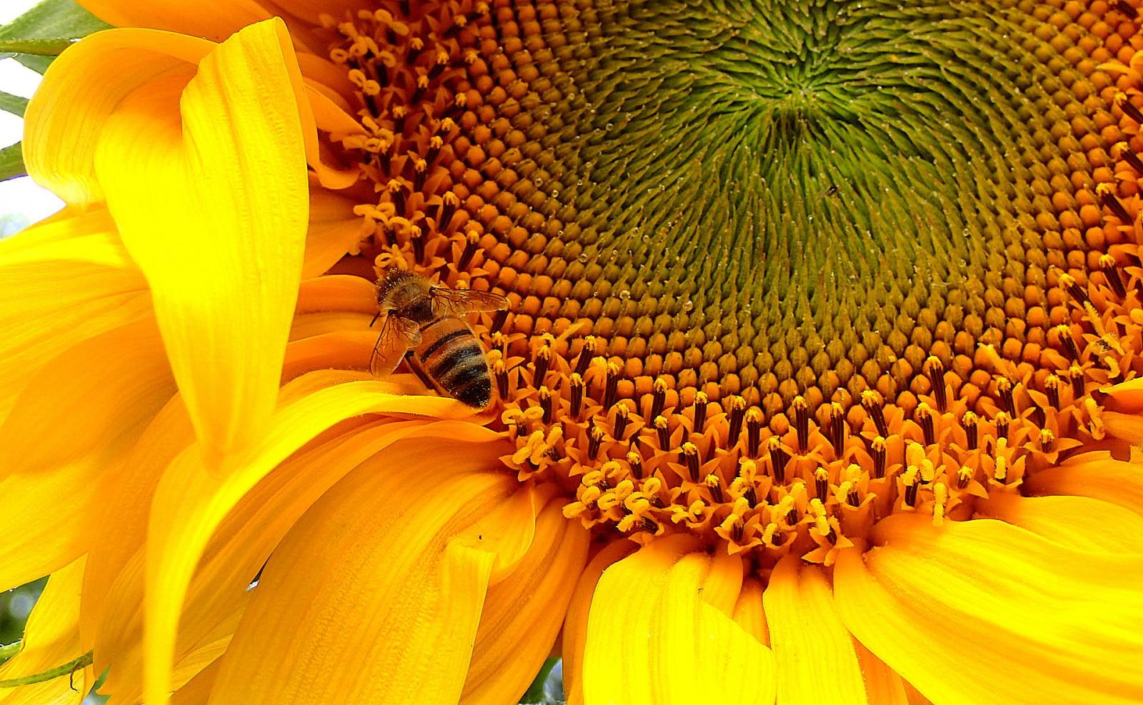Цветок подсолнуха фото крупным планом