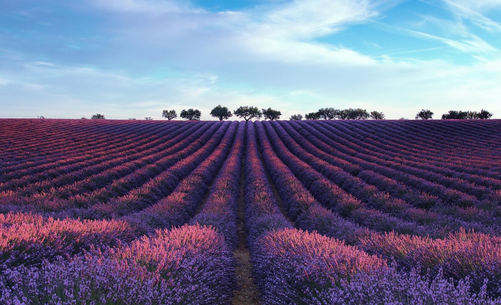 Fond d'écran : paysage, champ, lavande, plateau, fleur, prairie, agriculture, plaine, surgir ...