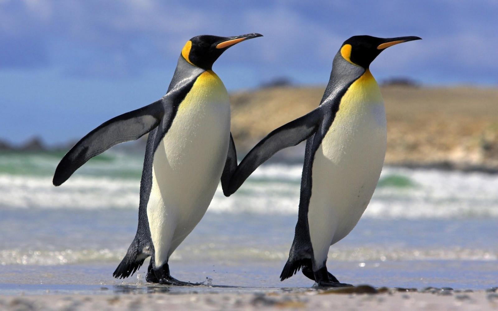 зарабатывают фото пингвинов с цветочками качество
