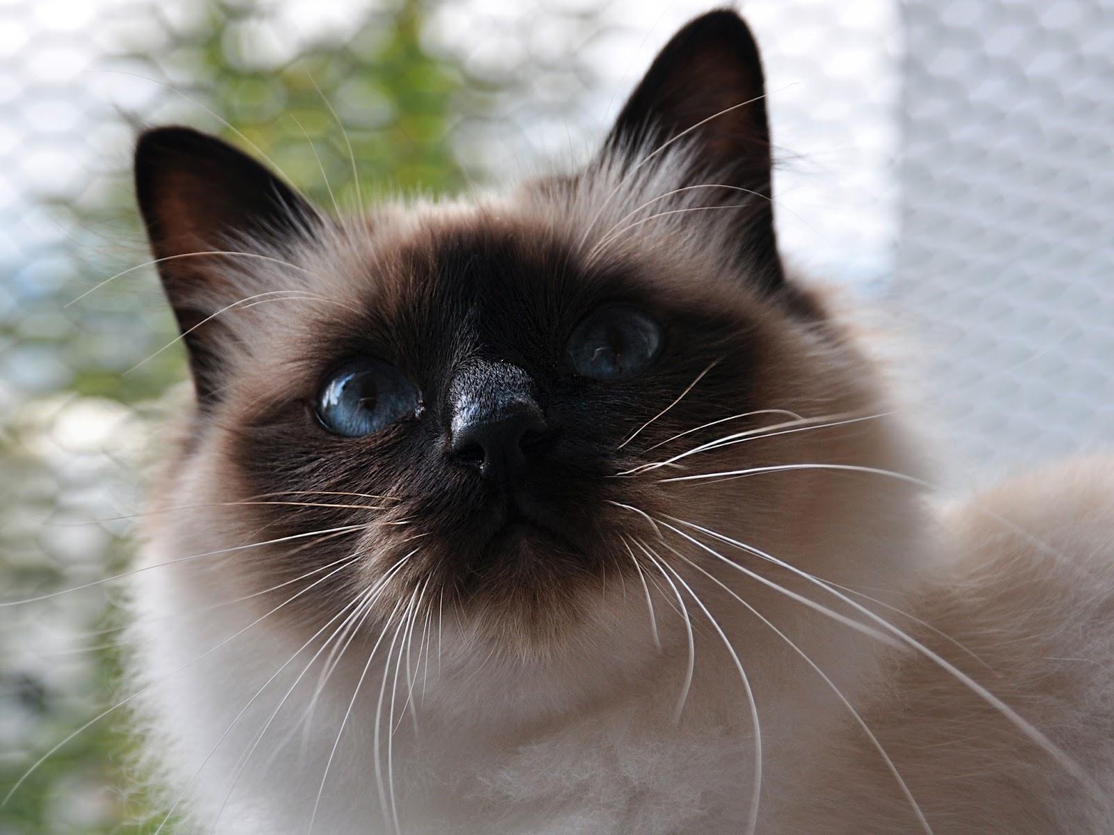 бирманская кошка обои на рабочий стол № 539366  скачать