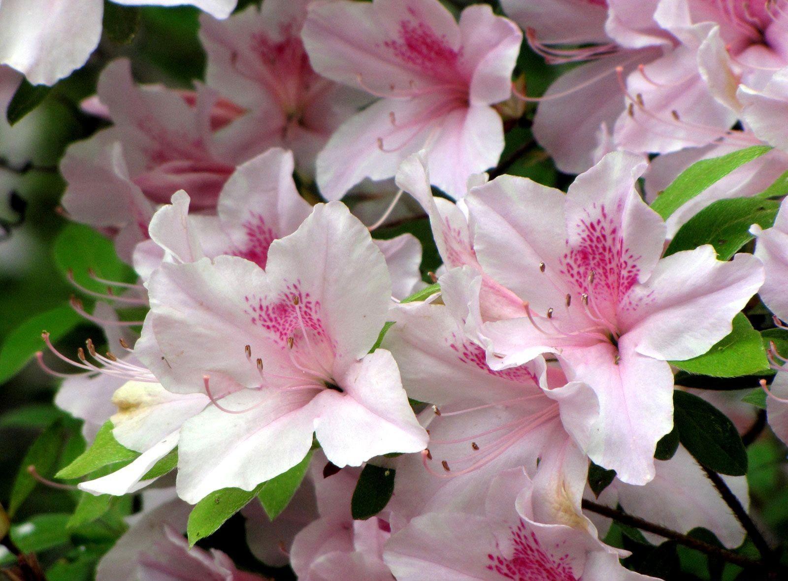 день нужно цветок азалия картинка утверждает