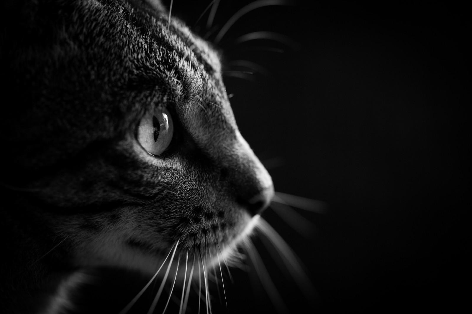 e8def2dfba Fondos de pantalla : cara, monocromo, fotografía, silueta, Tigre, perfil,  Vigas, fauna silvestre, Sol, Canon, bigotes, Mascotas, lente, primavera,  mascota, ...