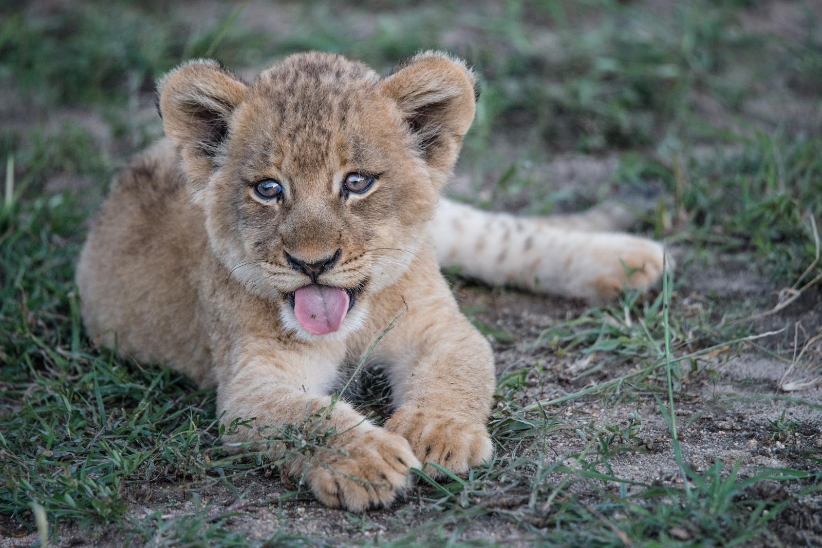 Для, картинки со львенком