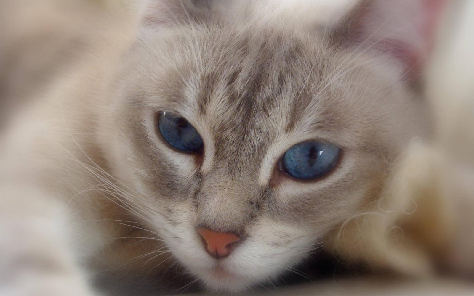 Картинки милого котенка с голубыми глазами, смешная