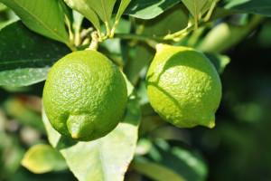 """Képtalálat a következőre: """"lime növény"""""""