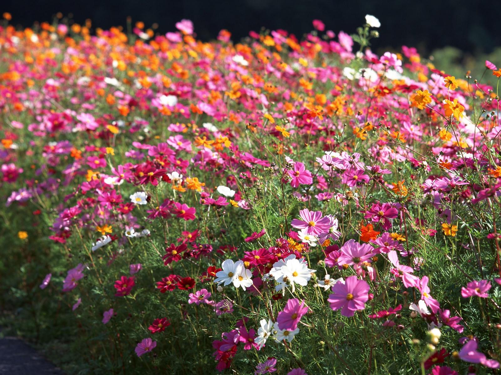 Летние цветы картинки и названия