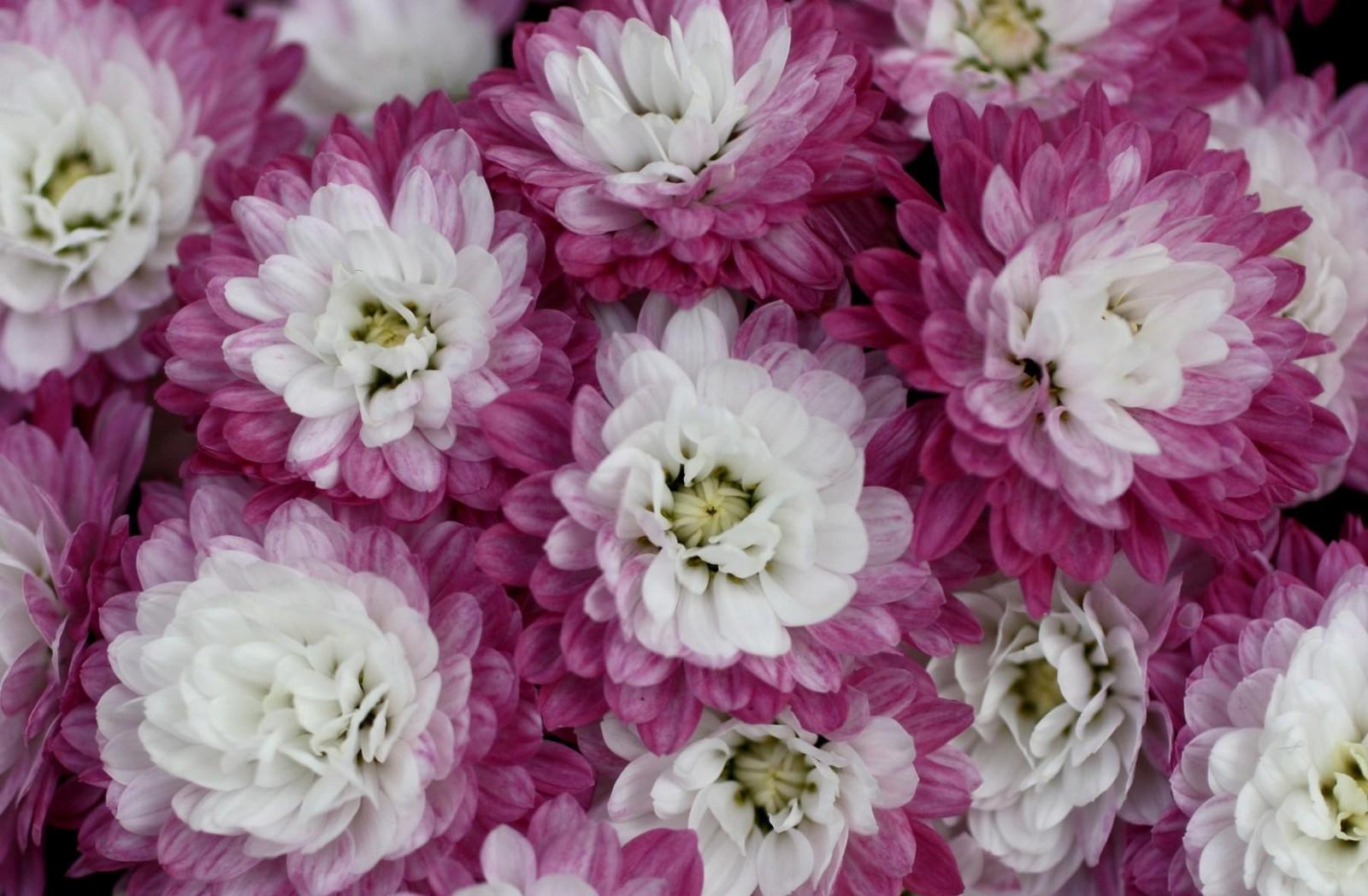 Картинки хризантемы в хорошем качестве