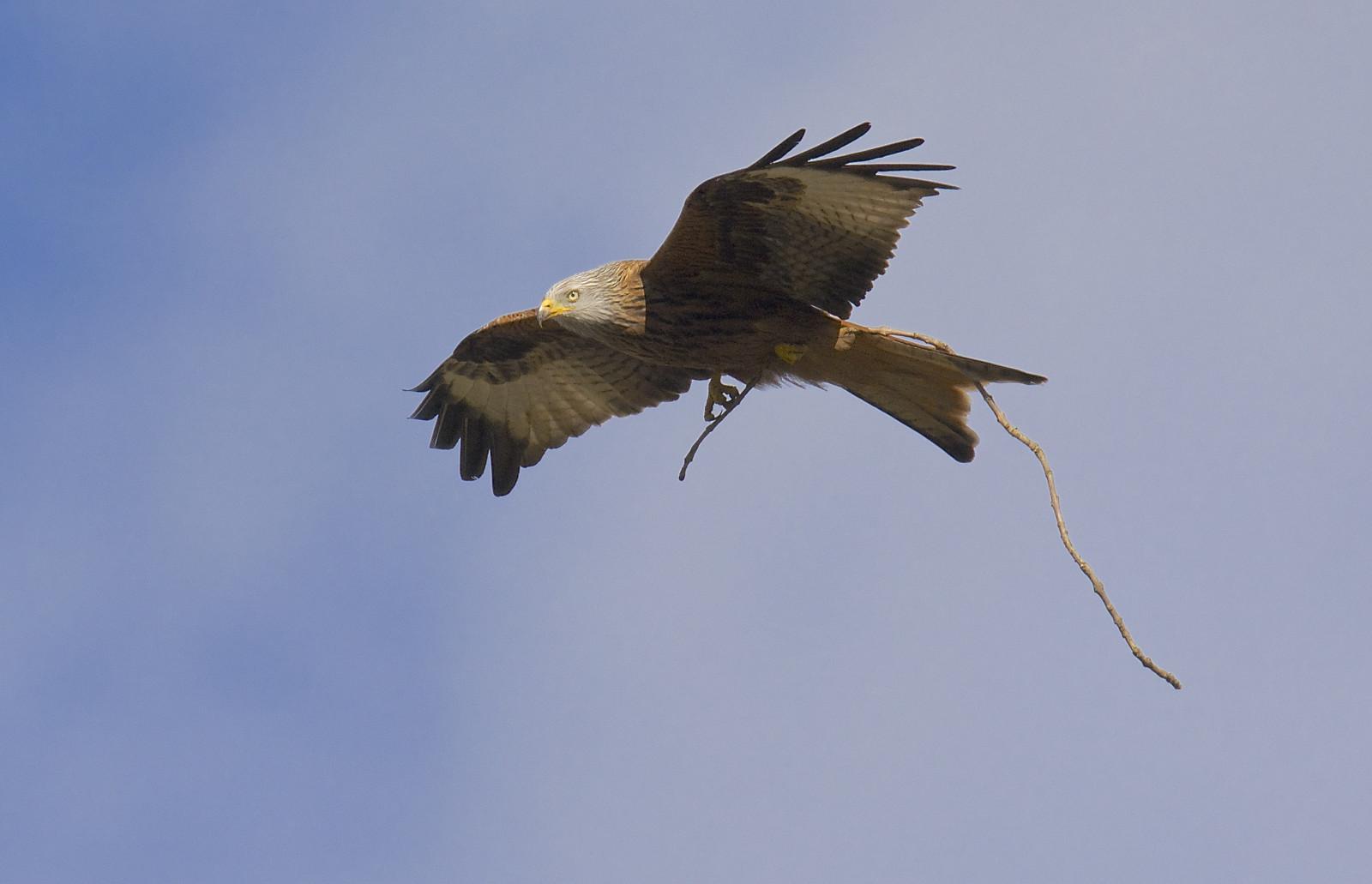 Sfondi birdsofprey uccelli uccello rapaci redkite - Primavera uccelli primavera colorazione pagine ...