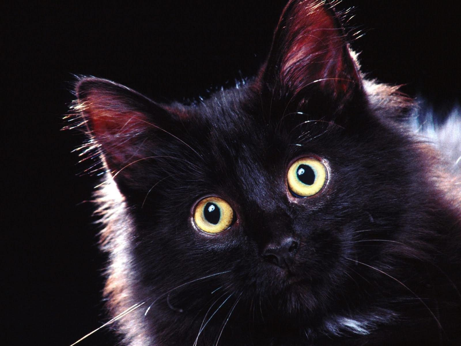 Открытку для, картинки смешных котов черных