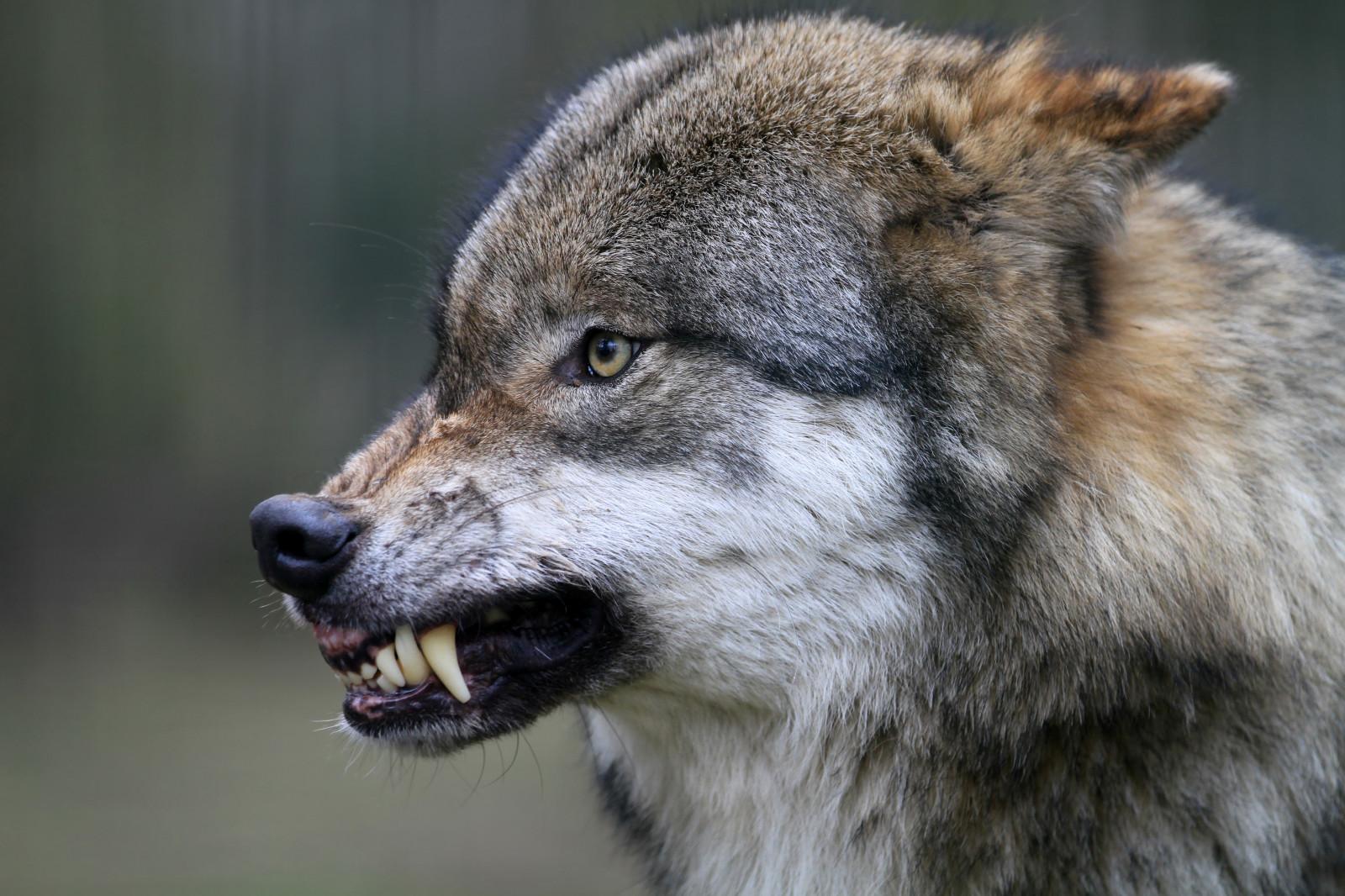 красивые картинки злобные морды волков фото число будет одинаковым
