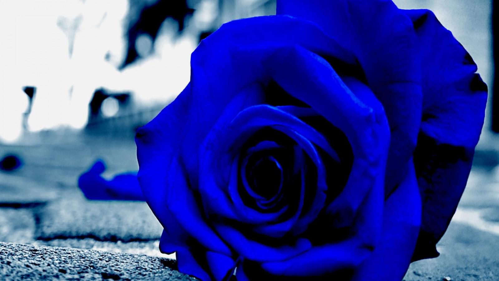 Брату день, картинки розы синие красивые