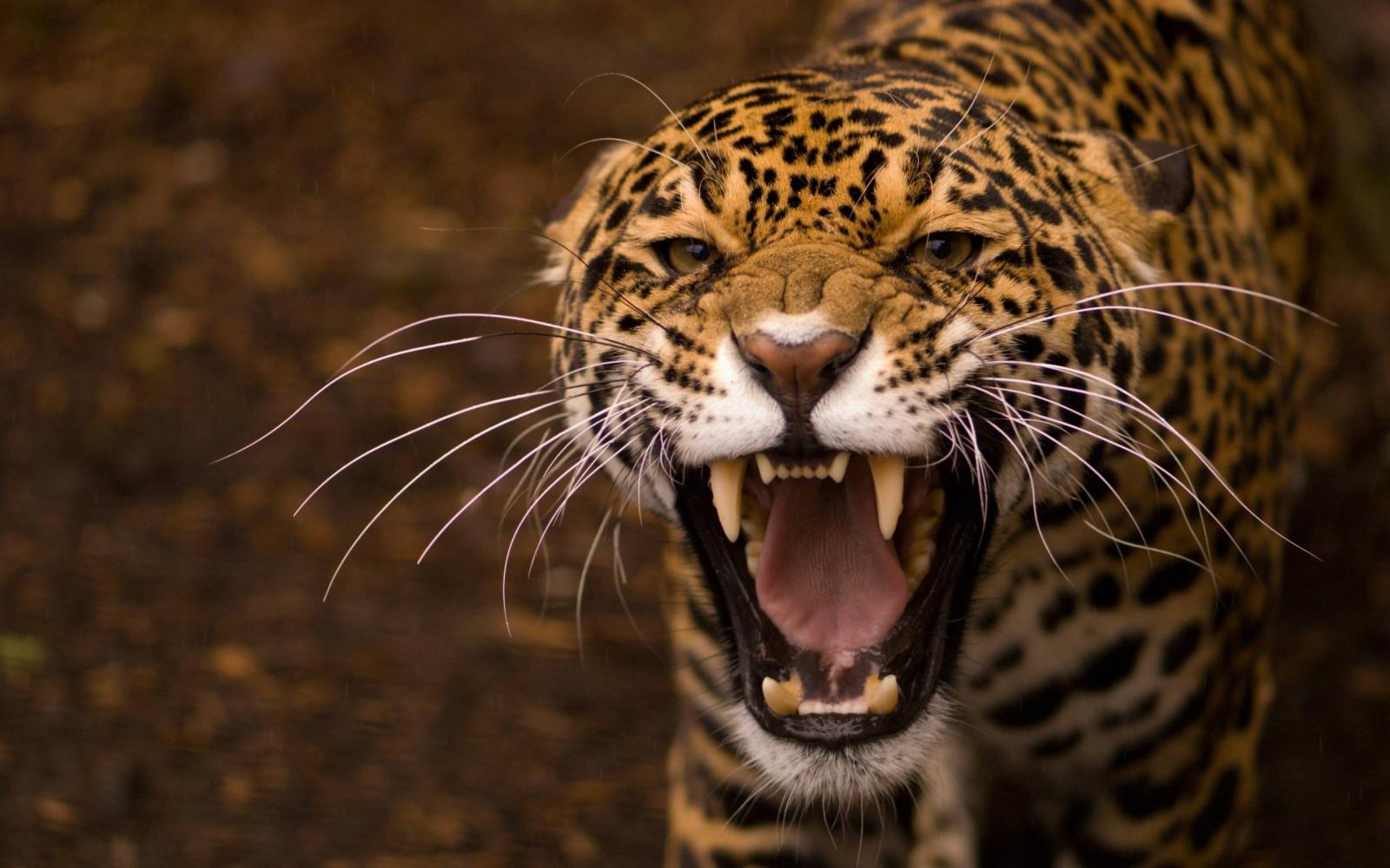 Wallpaper : animals, wildlife, teeth, big cats, whiskers ...