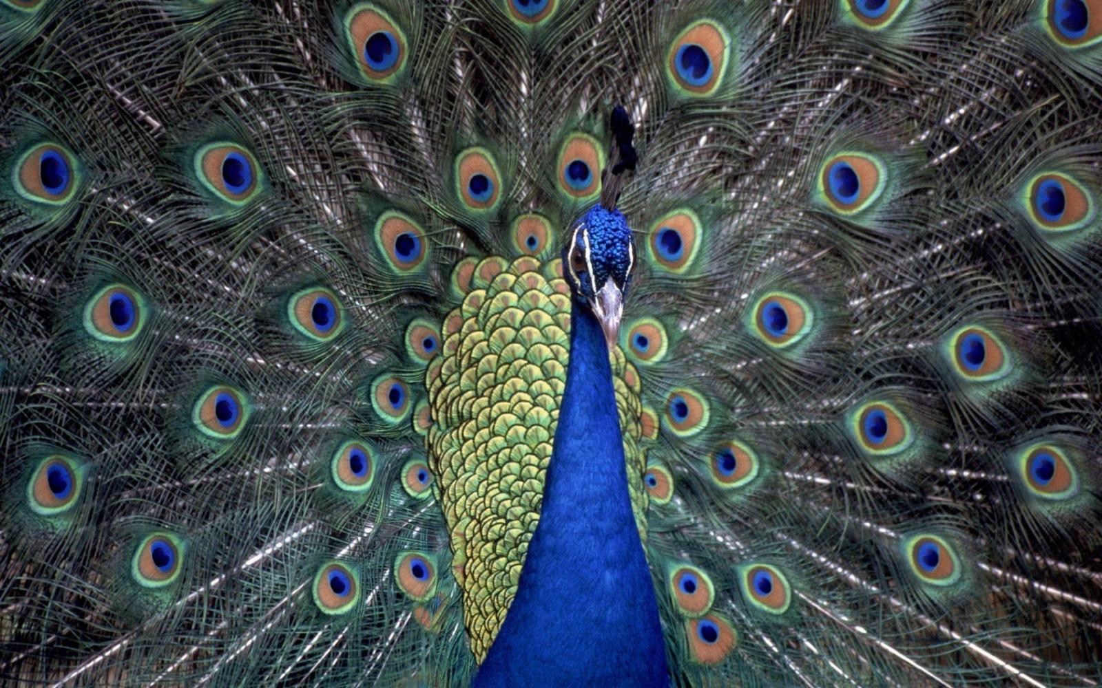 98  Gambar Burung Merak Hd HD Paling Bagus