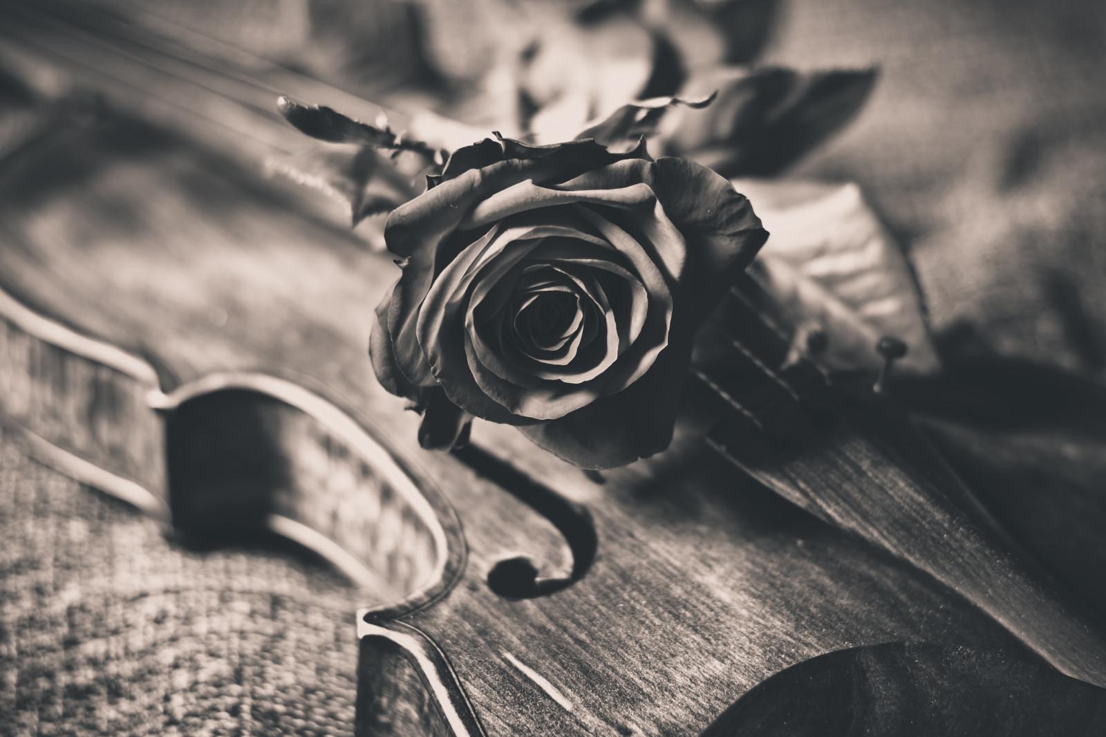 hintergrundbilder rosen schwarz und wei bw flores blume rose nikon dof rosa geige. Black Bedroom Furniture Sets. Home Design Ideas