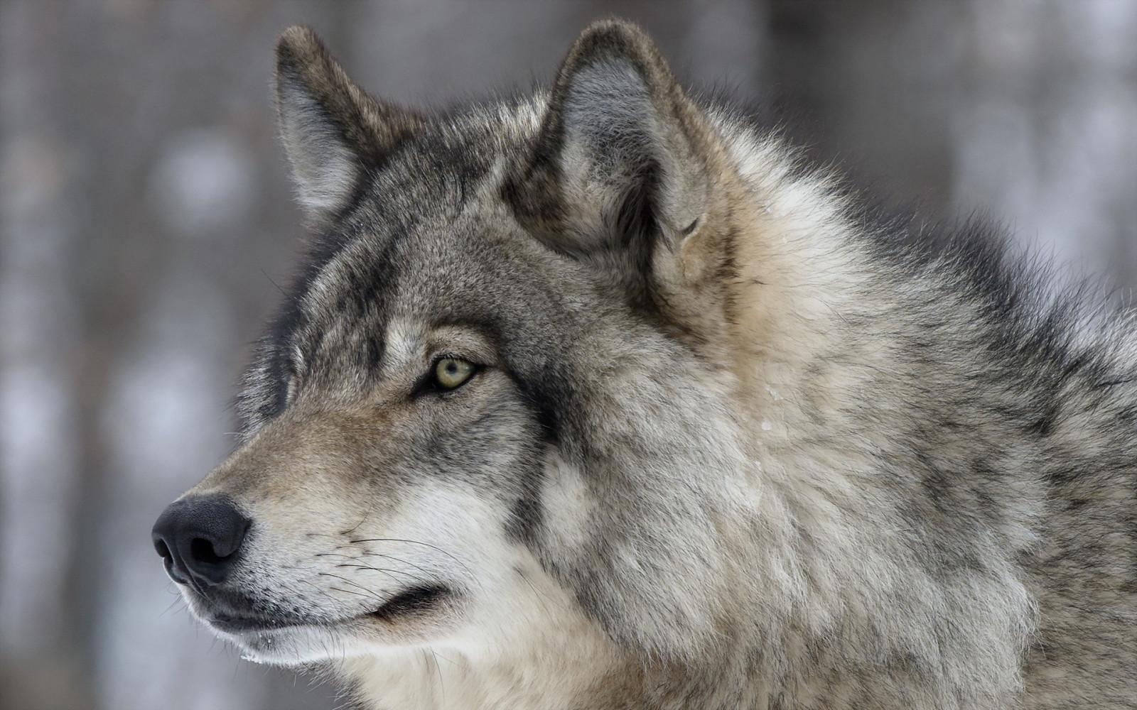 Norwegischer Wolfshund