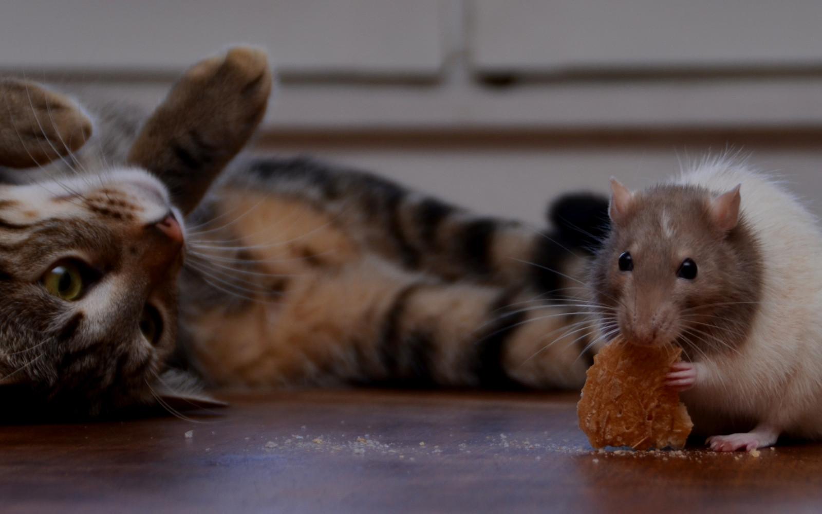 кот и мыши картинки фото часто