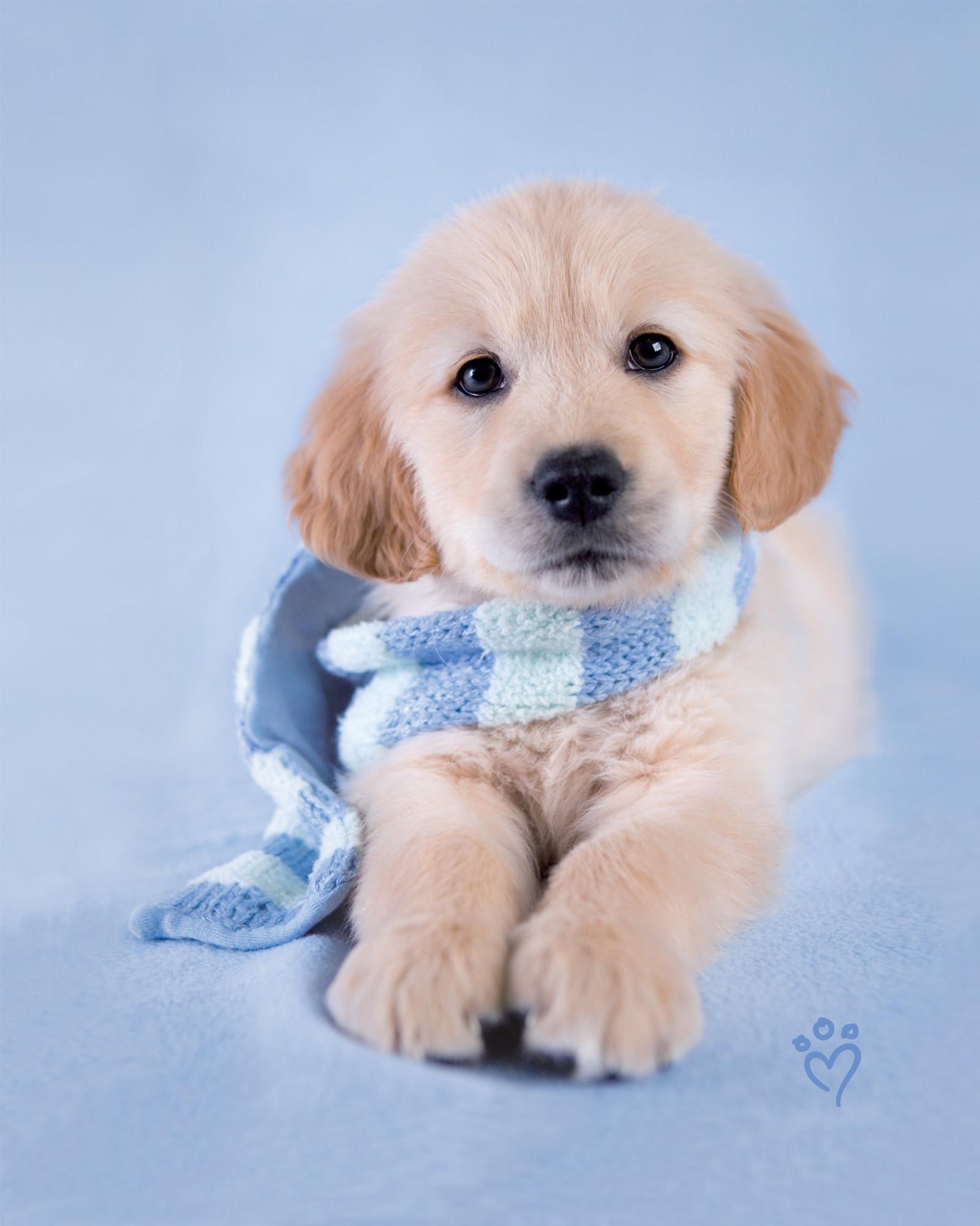 37+ Wallpaper anak anjing golden retriever terupdate