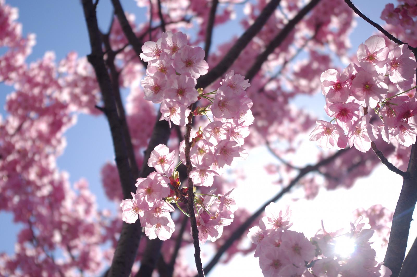 Sfondi Fiorire Rosa Ramo Primavera Fiore Di Ciliegio Flora