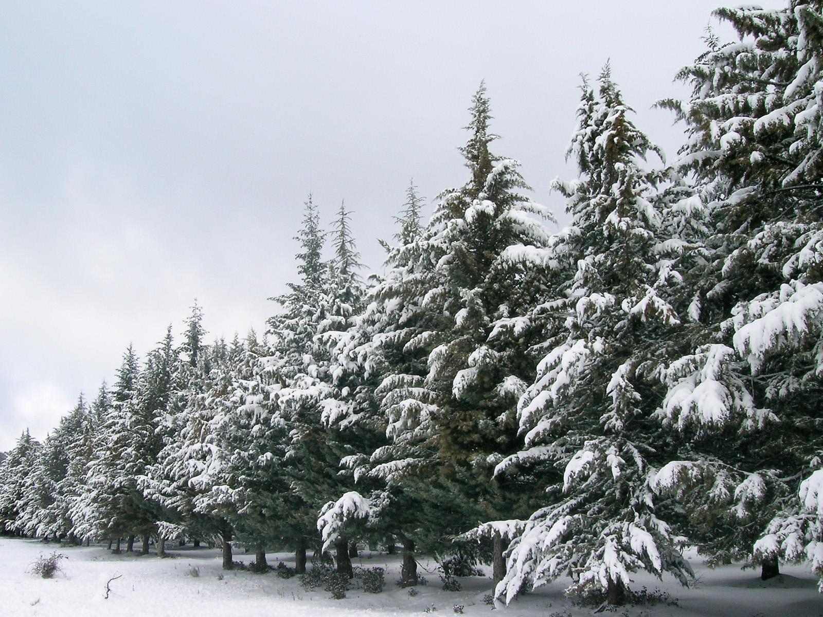 Фото с елью зимой