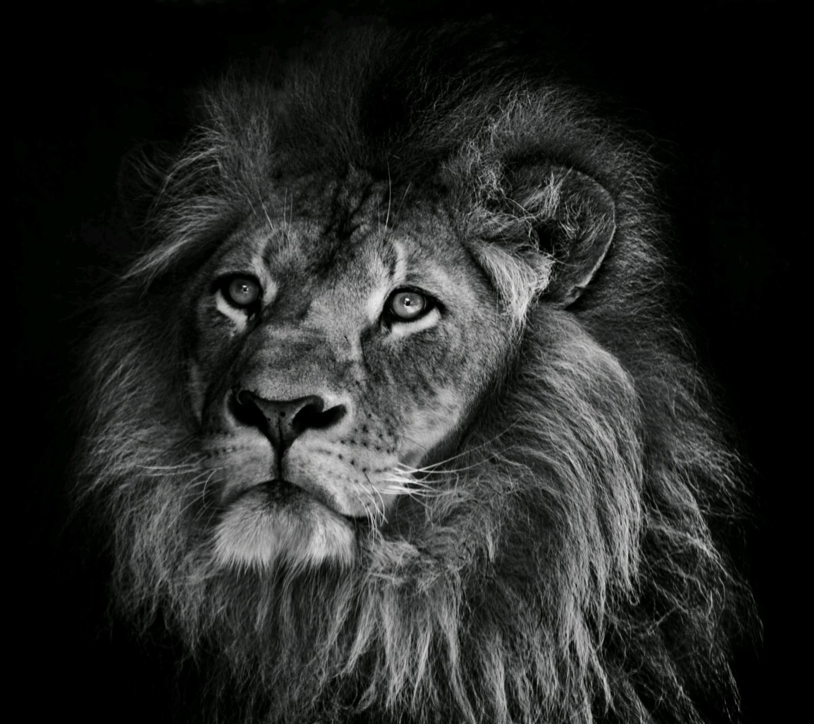モノクロライオンの動物壁紙