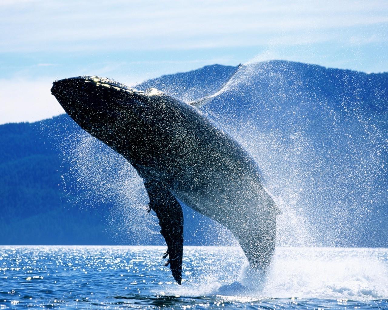 hintergrundbilder meer wal arktis buckelwal biologie s ugetier 1280x1024 px wirbeltier. Black Bedroom Furniture Sets. Home Design Ideas
