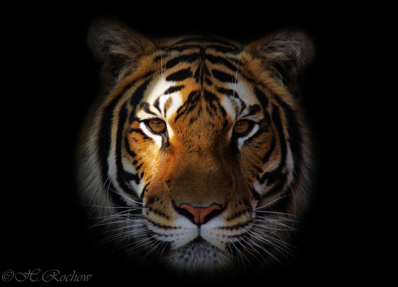 8k Animal Wallpaper Download: Wallpaper : Face, Tiger, Wildlife, Big Cats, Zoo, Whiskers