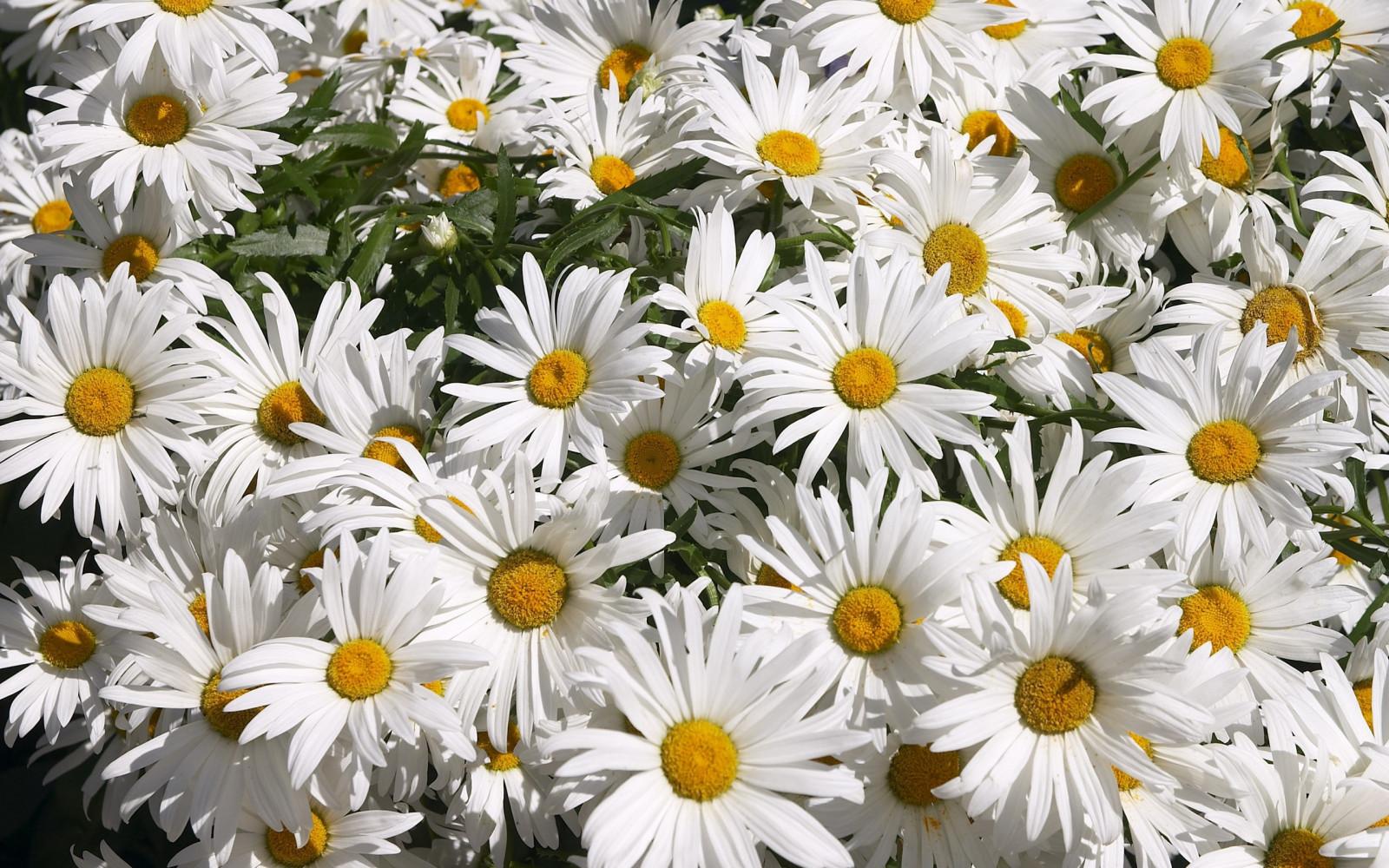 Картинки цветы ромашки, елочка смешные