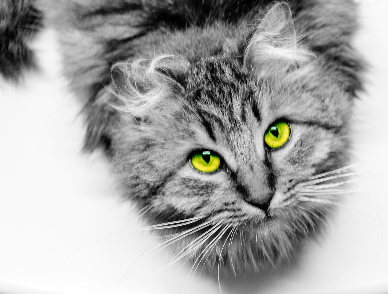 fond d 39 cran animaux monochrome les yeux c ur vert jaune nikon fourrure moustaches. Black Bedroom Furniture Sets. Home Design Ideas