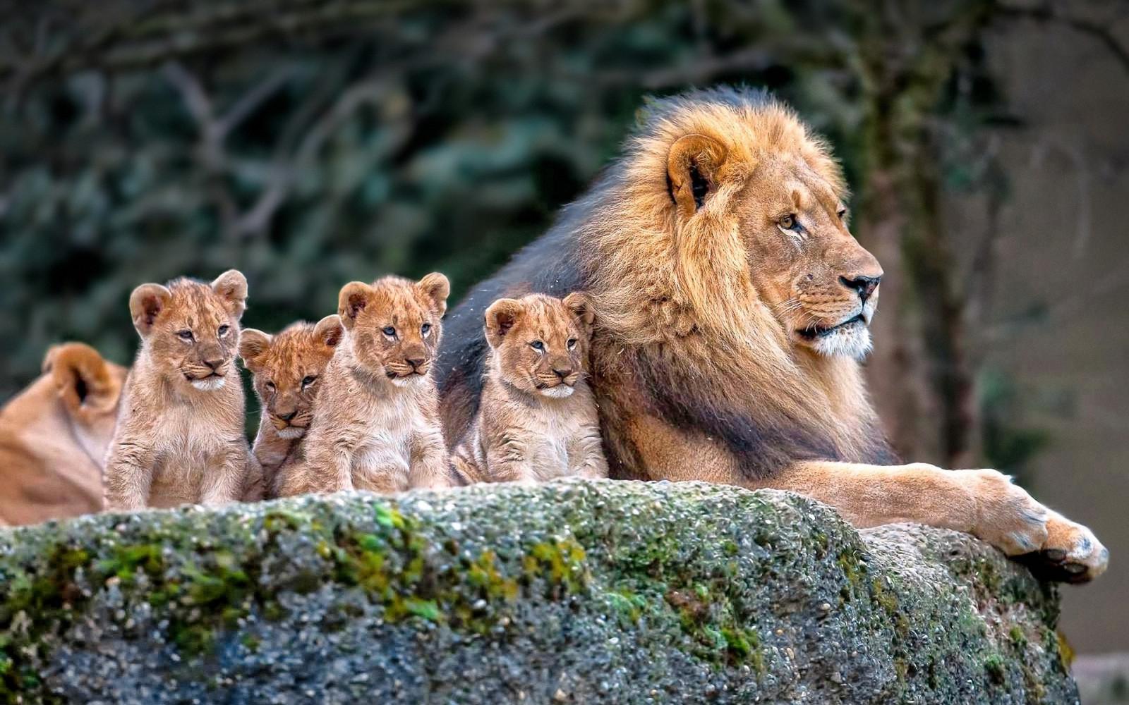 Fondos De Pantalla De Animales Bebes: Fondos De Pantalla : Animales, Naturaleza, León, Fauna