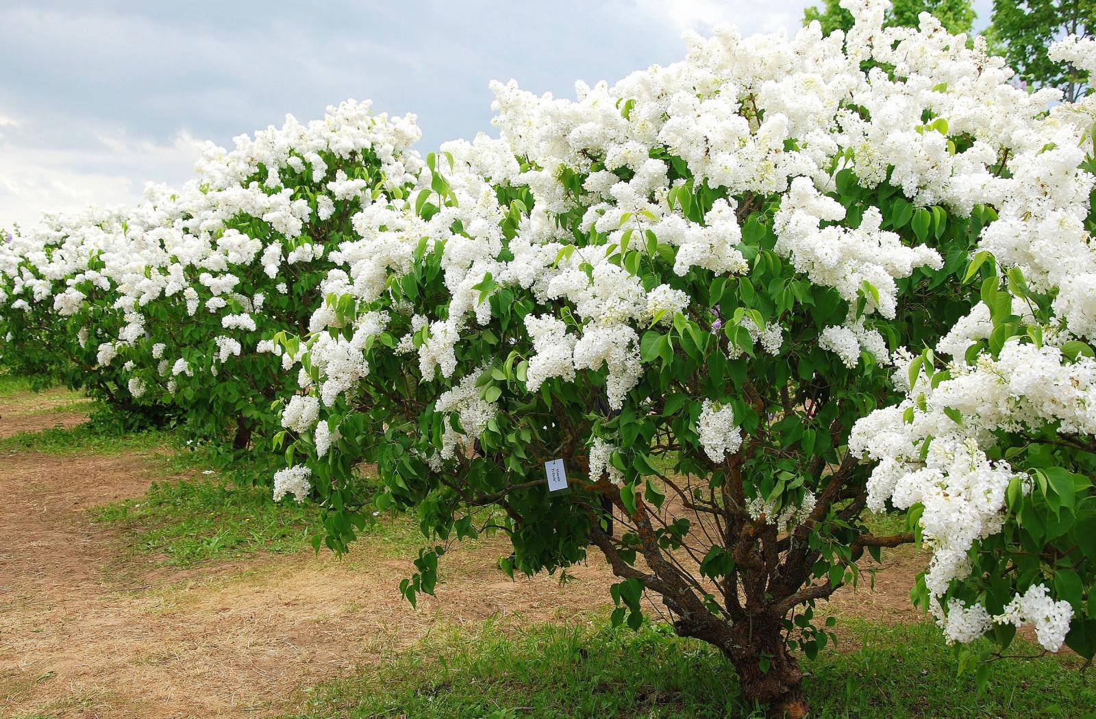 Albero Di Lillà sfondi : bianca, ramo, fiorire, primavera, ortensia