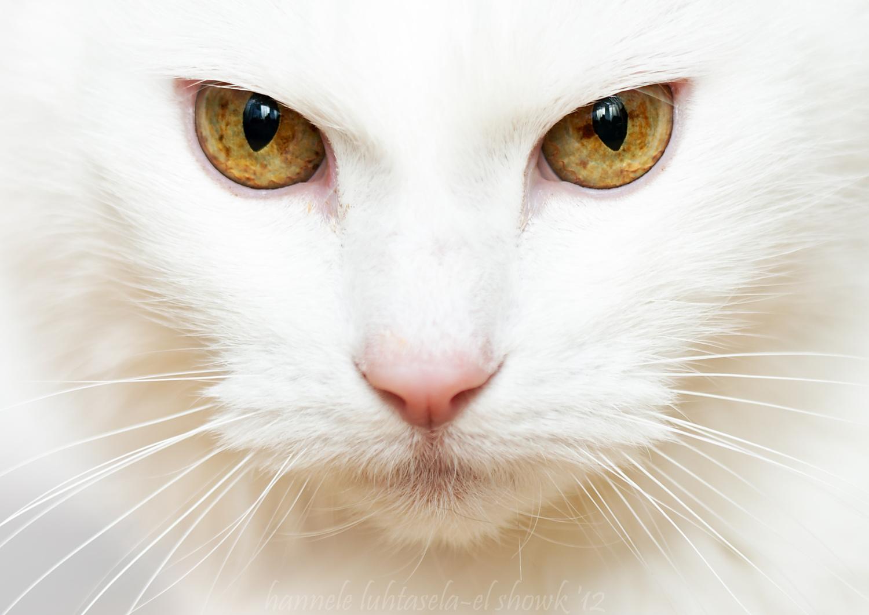 картинки белых котов с желтыми глазами делал три черно-белых
