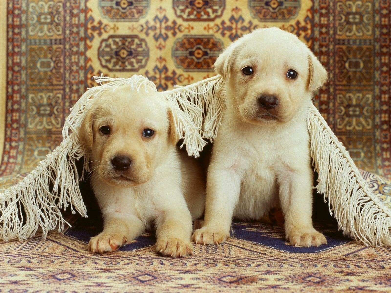 絨毯とラブラドールレトリバーの子犬