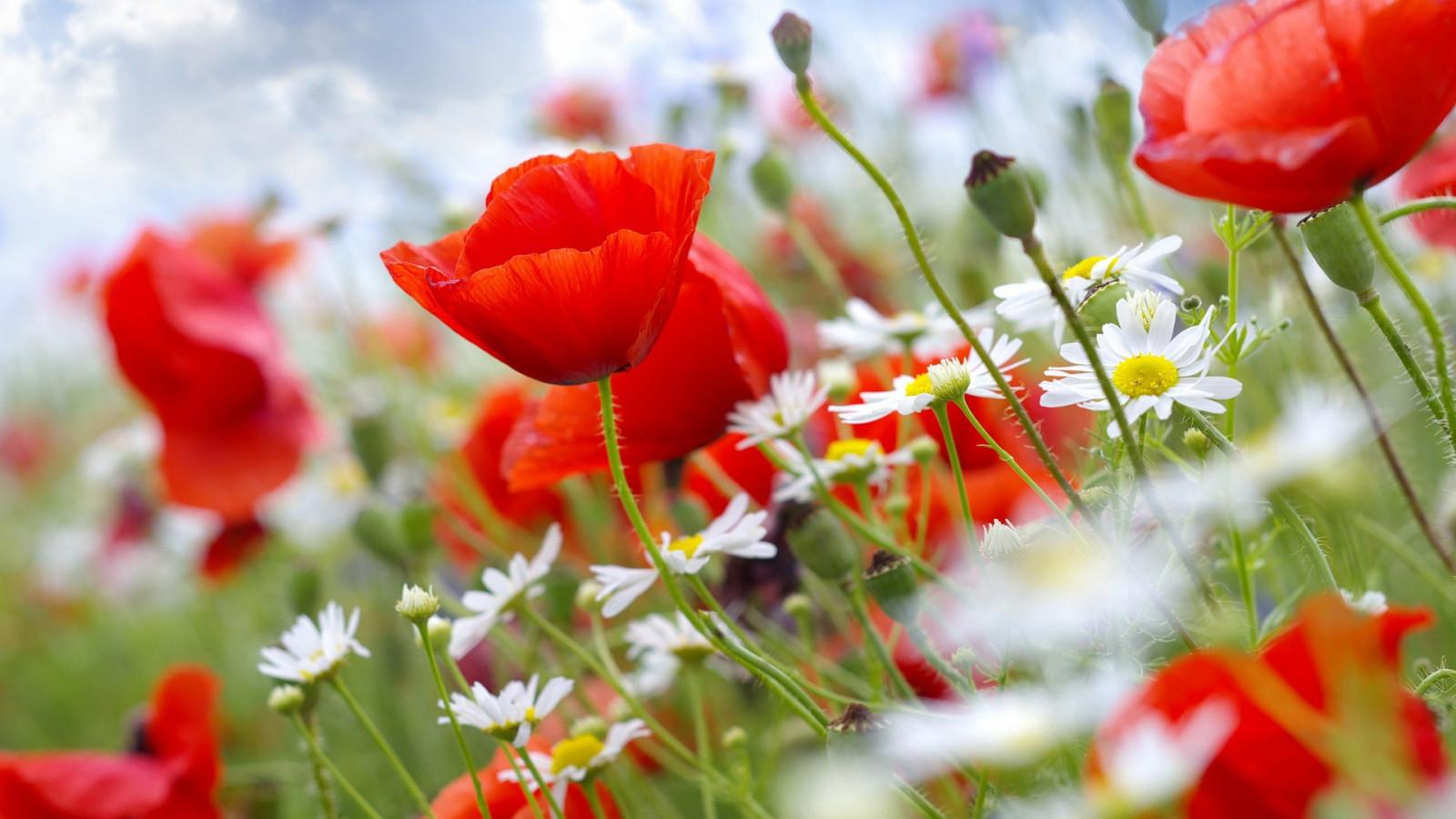 デスクトップ壁紙 フラワーズ 自然 フィールド 赤い花 工場