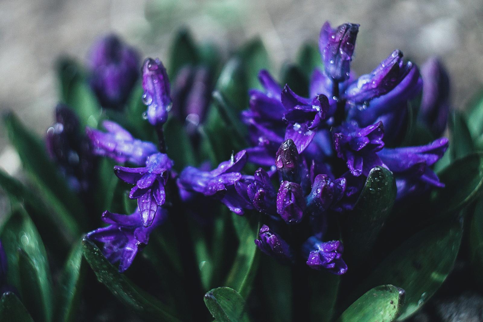 hintergrundbilder blumen natur lila wassertropfen nahansicht lavendel iris blume auge. Black Bedroom Furniture Sets. Home Design Ideas