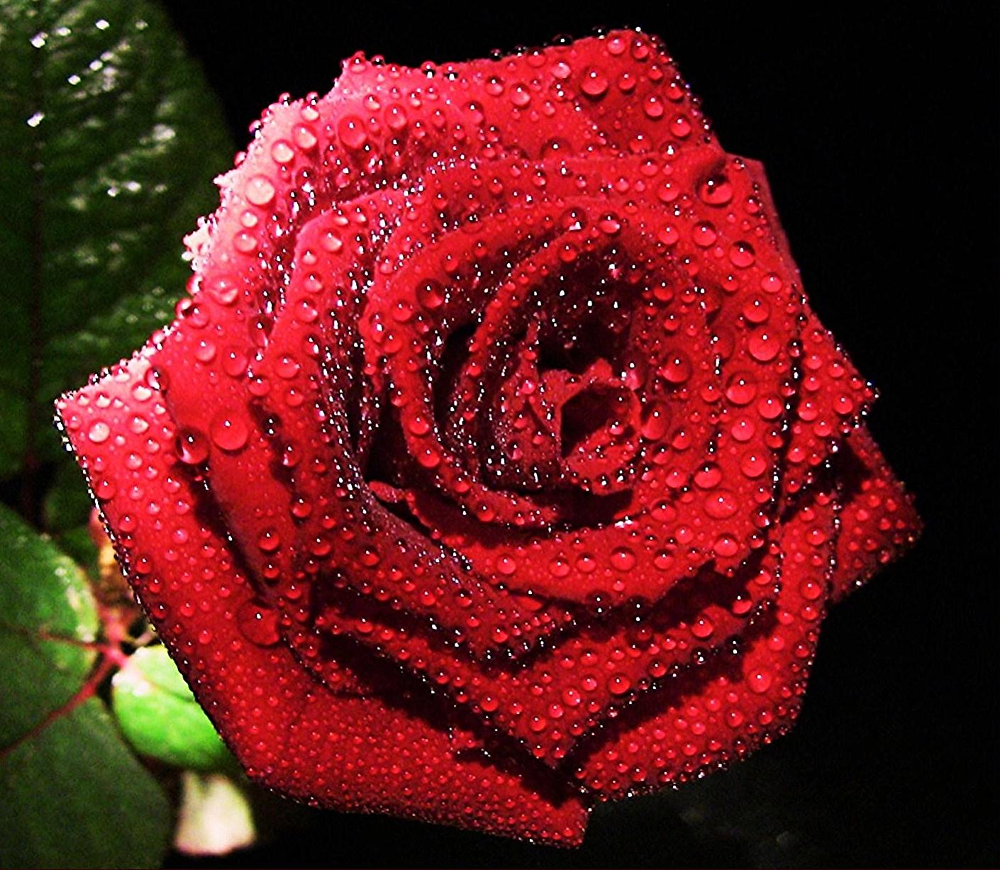 роза группа растений