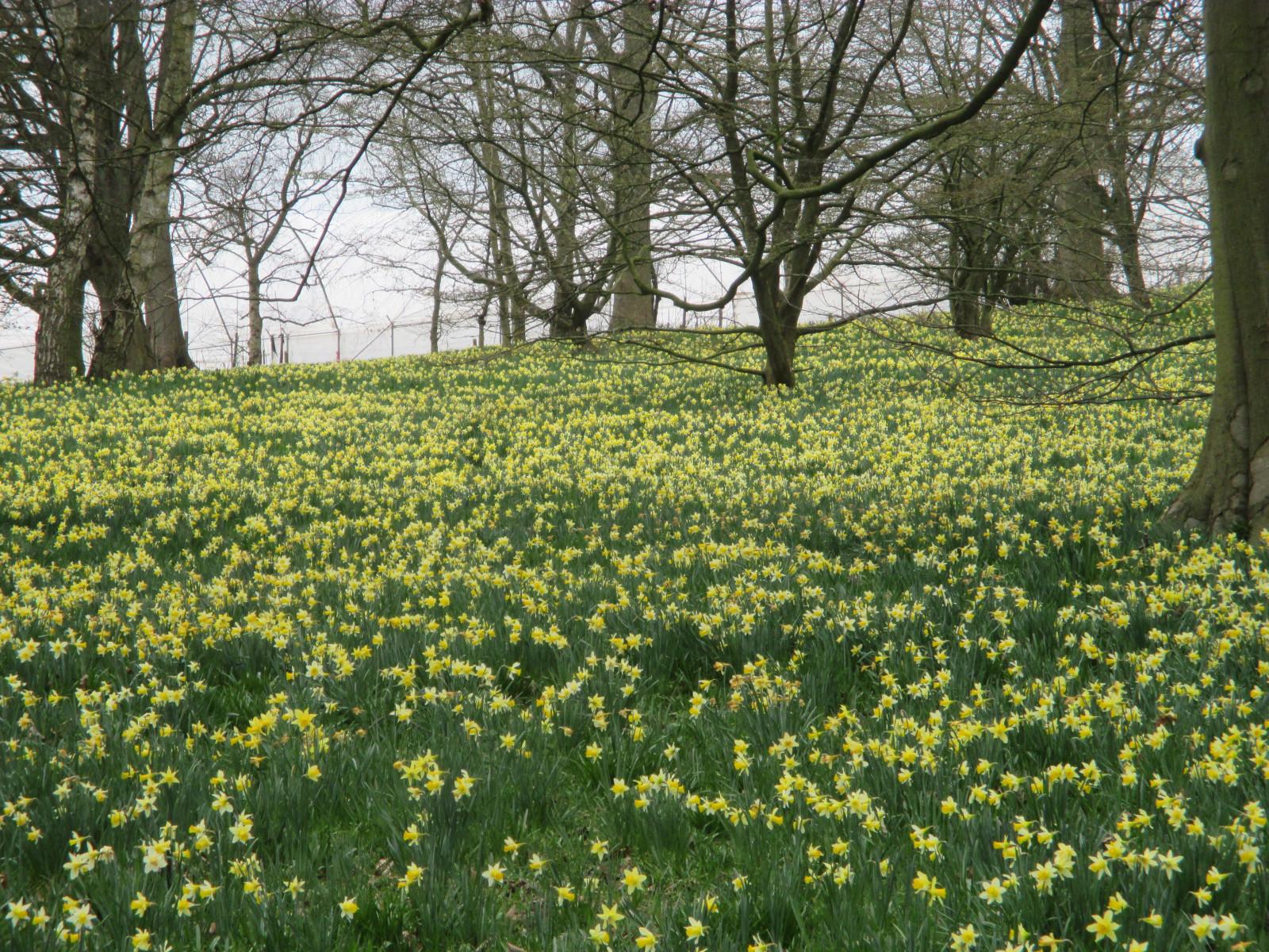 Fond d 39 cran lumi re du soleil des arbres champ jaune angleterre gloucestershire - Taille du pecher au printemps ...