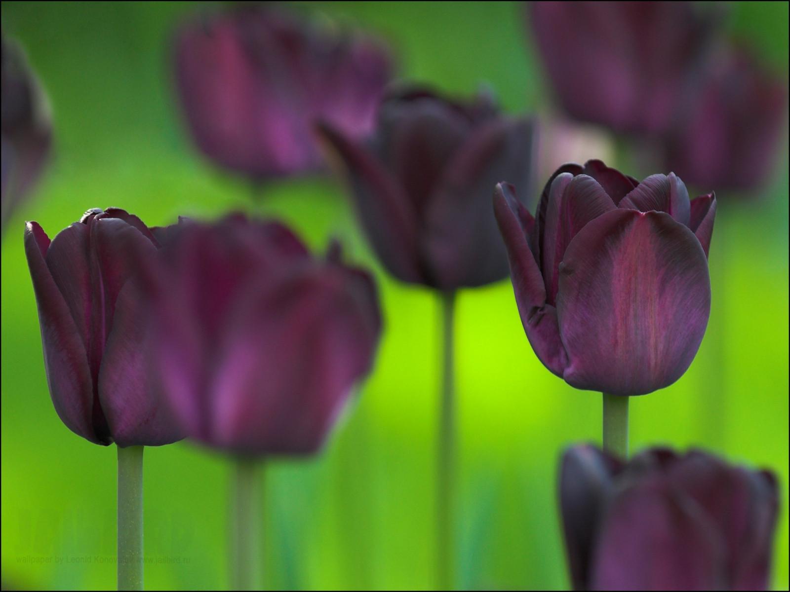 Картинки шайнинг, открытки черные тюльпаны
