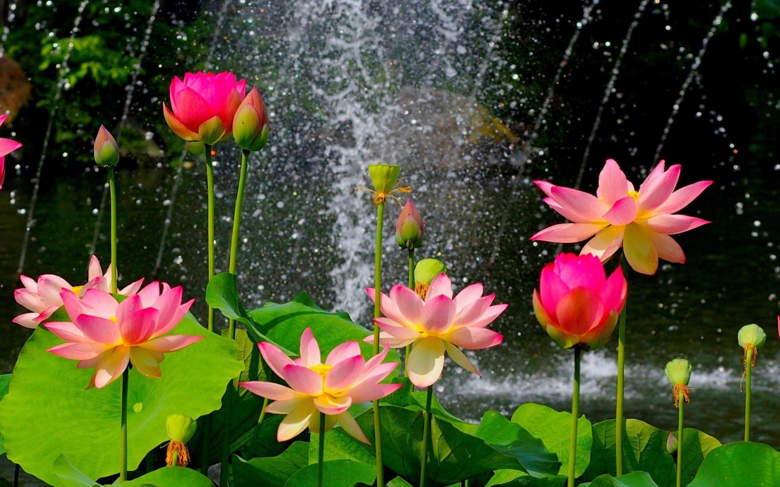 Wallpaper Flowers Garden Nature Lotus Flower Lily