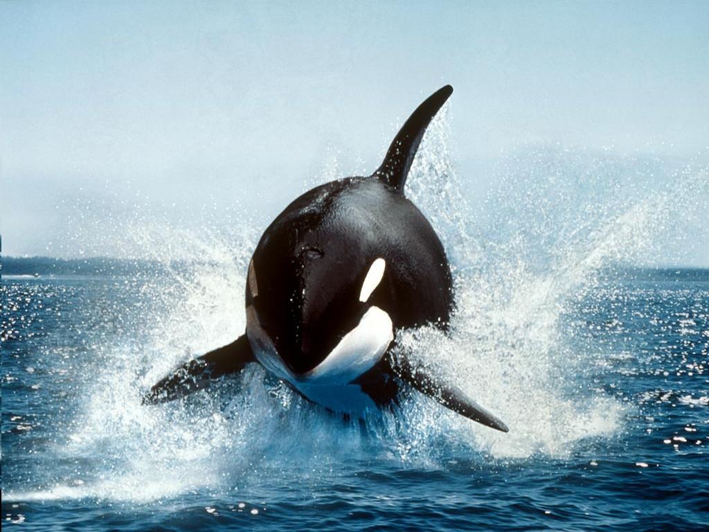 デスクトップ壁紙 鯨 オルカ ザトウクジラ 哺乳類 脊椎動物