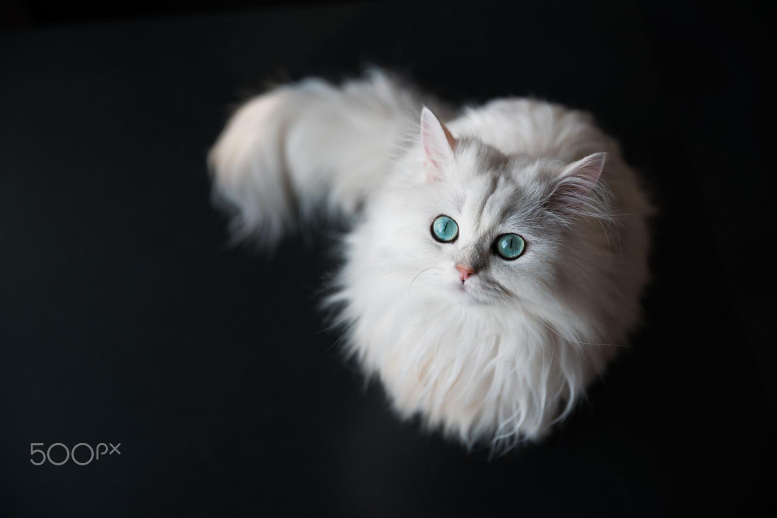 Sfondi bianca animali 500px occhi verdi barba for Gatto della foresta norvegese